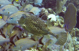 Reef fish disguises himself among regular fish