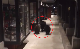 Watch 3 bears run from 'the law'