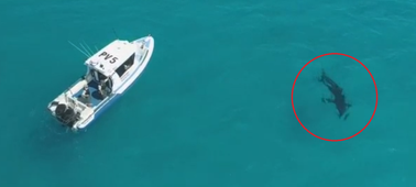 Giant shark spotted circling patrol boat