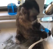 Monkey eager to wash dishes