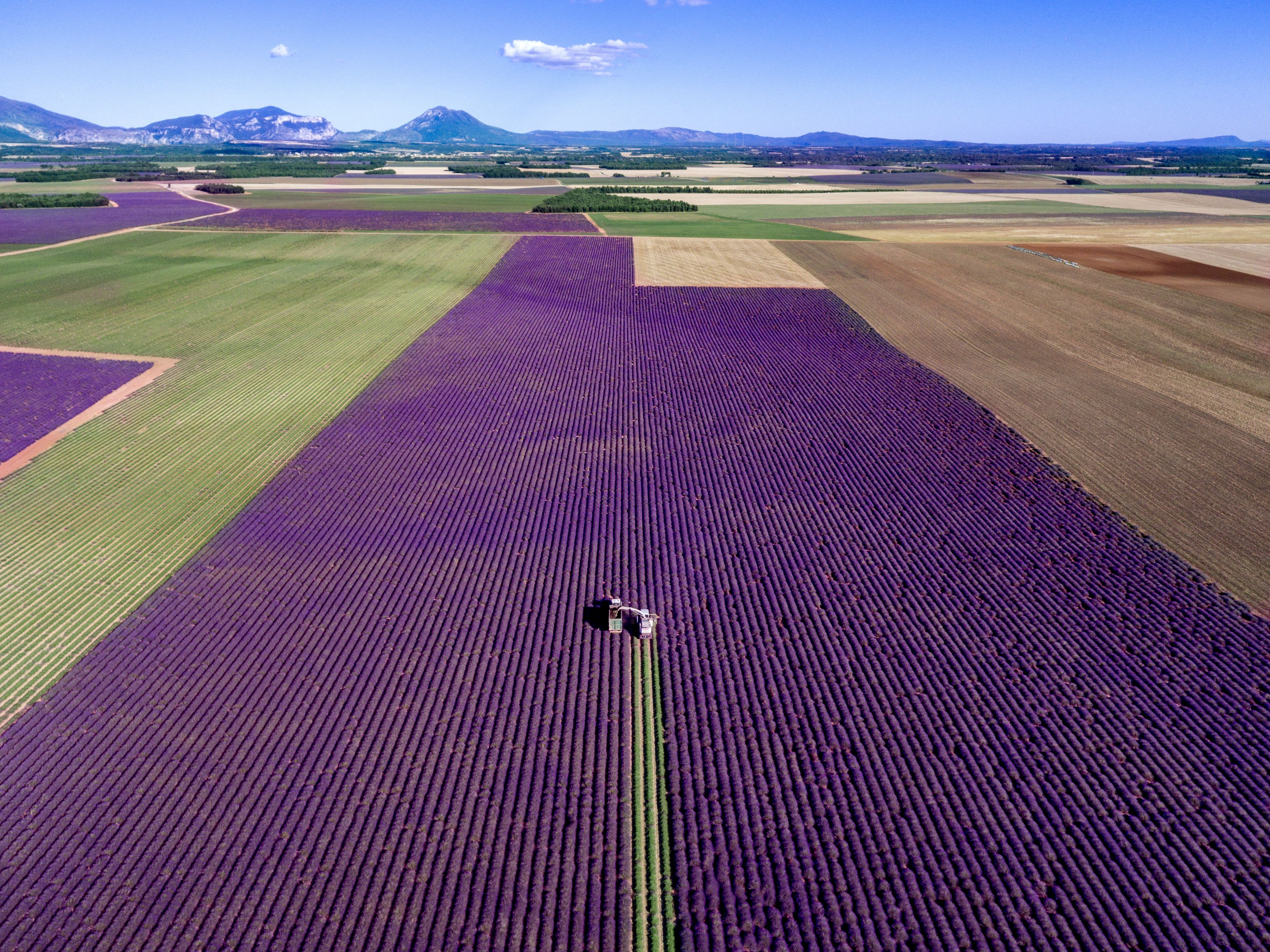 Slide 39 of 73: *Full story: http://www.rexfeatures.com/nanolink/smyh These striking photographs capture a farmer tending to an immaculate purple lavender field, leaving behind a single green trail. The pretty purple of the plants is overwhelming in this aerial shot taken over a lavender field renowned for being one of the most beautiful in France. A farmer collecting the plants uses a harvesting machine to travel in straight lines on the field, cutting all the purple branches and leaving behind the contrasting green. In these aerial shots of the field, there are around 20,000 lavender plants which all sit in perfect columns next to each other. Photographer Jerome Courtial captured these shots of the lavender field in St Julien D'asse, France, using his drone. Mr Courtial, 38, wanted to capture the fields differently as they are popular with photographers shooting from the ground - so he flew his drone and followed the harvest machine.