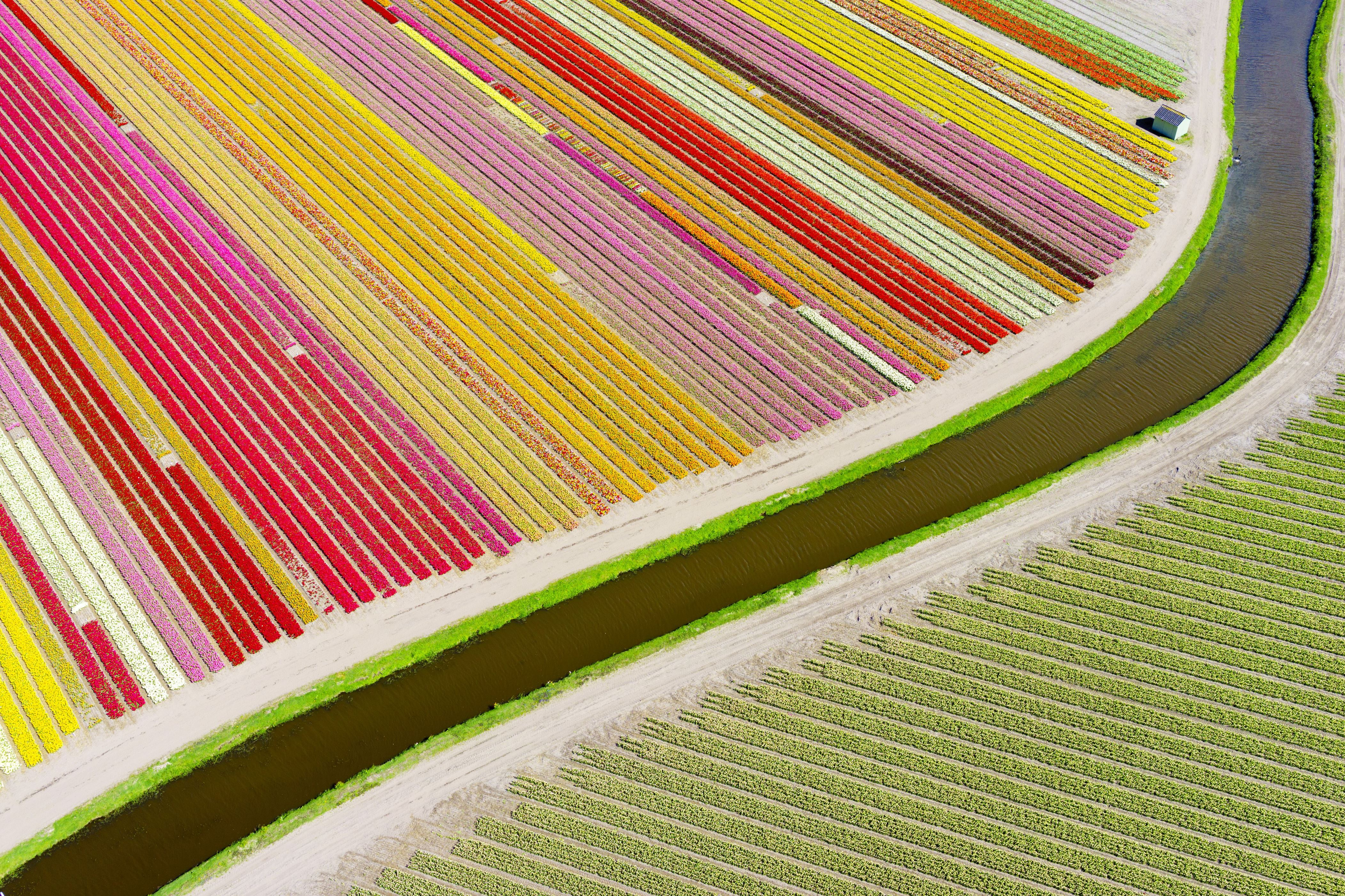 """Slide 10 of 73: FULL COPY: http://www.rexfeatures.com/nanolink/qn8o A photographer has shot a series of stunning aerial photographs of the tulip fields in the Netherlands using a drone. The photos reveal striped fields of red, yellow, purple, black and blue tulips. Meanwhile, large areas of hyacinths can be seen draped around the surrounding areas. Swedish-based photographer Anders Andersson, 42, said: """"My idea was to create abstract patterns of colour, something like the Dutch artist Mondrian did with a paint brush."""" Anders used Google Earth to scan the Netherlands in order to find the right location to shoot the Tulip Field series. He settled on the 'tulip-mania district' near Sassenheim, Netherlands. He had to time the project carefully to ensure the flowers were in full-bloom, whilst ensuring they had not yet been cut and sold. Anders subscribed to a Dutch tulip newsletters and anxiously waited for the right moment."""