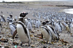 'Supercolony' of penguins on Antarctica