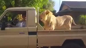 SA farmers use lions as security guards