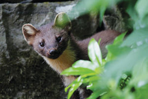 Undated handout photo issued by Vincent Wildlife Trust of a pine marten