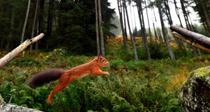 File photo dated 21/10/13 of a red squirrel.