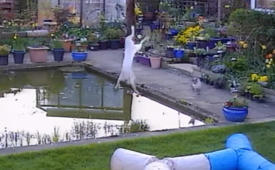 Cat's epic fail at trying to catch a bird results in splash landing