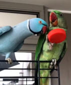 Really pushy parrot won't leave his new friend alone