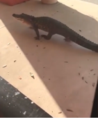 Crocodile walks around the streets of Florida
