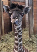 Baby giraffe steals hearts with sweet camera antics