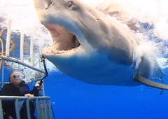 Brave diver grabs great white shark with his bare hand