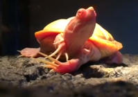 This long-nailed albino turtle is too weird for words