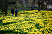 People stand amongst daffodils in St James Park in London, Britain March 10, 2018. REUTERS/ Henry Nicholls