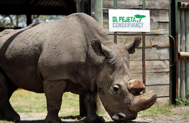 "Slide 4 of 38: FILE - In this Wednesday, May 3, 2017, file photo, Sudan, the world's last male northern white rhino, is photographed at the Ol Pejeta Conservancy in Laikipia county in Kenya. Researchers say Sudan has died after ""age-related complications."" A statement from the Ol Pejeta Conservancy in Kenya says the 45-year-old rhino was euthanized Monday, March 19, 2018, after his condition ""worsened significantly"" and he was no longer able to stand. (AP Photo/File)"
