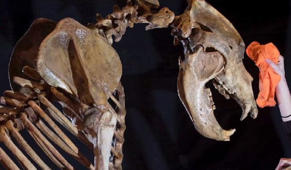 Rare skeleton of extinct cave bear up for sale