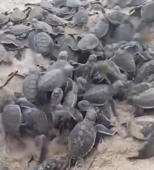 Watch this baby turtle 'volcano' erupt in Australia