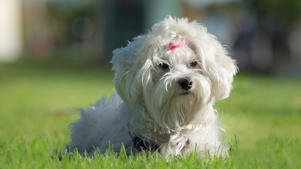 a small white dog sitting in the grass