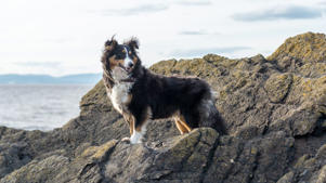 a dog standing on a rock