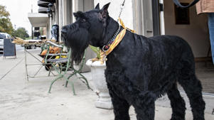a large black dog on a leash