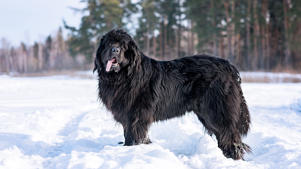 a brown and black dog standing in the snow