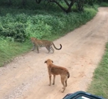 Lucky dog barks at young leopard in face-off