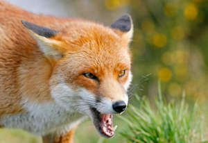 Police concluded that cats were more likely to have been killed by foxes than a human attacker