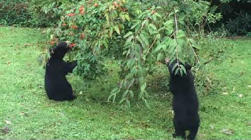 Moment a couple of bears decide to pay a casual visit to a family