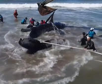 Stranded whale returned to sea after a two-day rescue operation