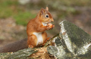 A stunning Red Squirrel (Sciurus vulgaris) sitting on a log eating a nut.