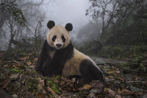 A sixteen-year-old giant panda inside her enclosure at the Wolong Nature Reserve.