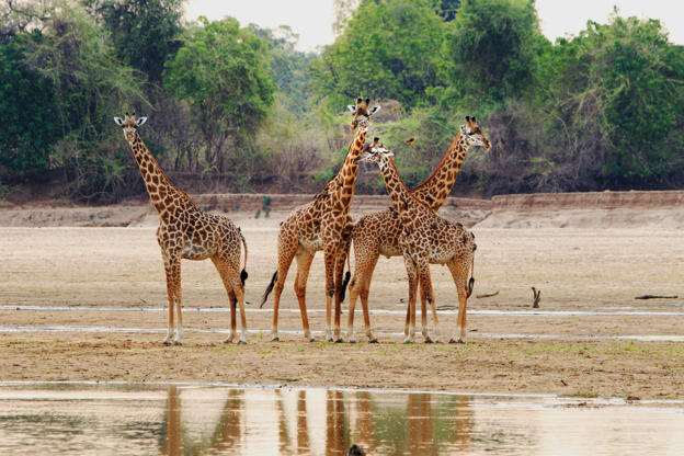 Slide 4 de 51: CAPTION: Tower of Thornicroft Giraffe standing on the Luangwa Riverbed, South Luangwa National Park, Zambia, Southern Africa