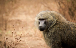 Self-assured baboon takes a seat and holds up traffic