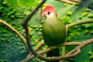 red-crested turaco (Tauraco erythrolophus) in natural surroundings
