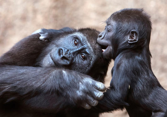 Slayt 1/50: Baby gorilla Kianga, right, plays with young gorilla Diara, left, at the Leipzig Zoo in Leipzig, Germany, Wednesday, Feb. 7, 2018. The female baby gorilla was born on Dec 4, 2016. Together with Diara and Kio now are living three young gorillas in the group. (AP Photo/Jens Meyer)