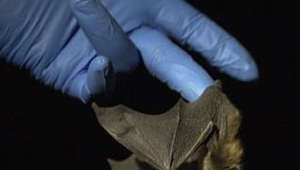 These bats mysteriously survived a killer fungus