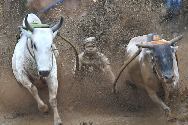 "Slide 10 of 36: An Indonesian jockey rides two bulls with a cart during a traditional sport bull race locally called ""pacu jawi"" in Pariangan of Tanah Datar regency in West Sumatra on December 1, 2018."