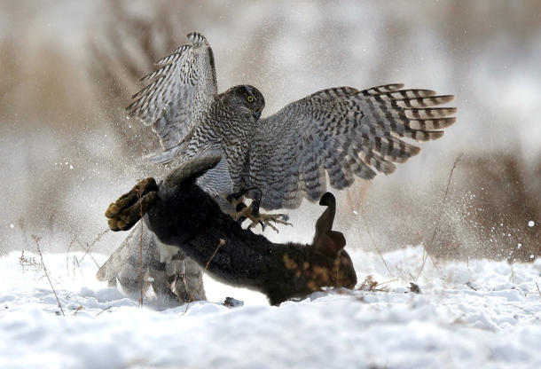 Slide 12 of 36: A tamed hawk attacks a rabbit during a traditional hunting contest in Almaty, Kazakhstan December 2, 2018.