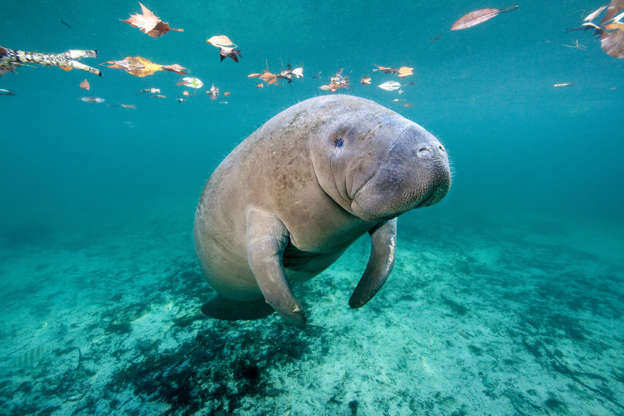 Slide 9 de 62: West Indian Manatee