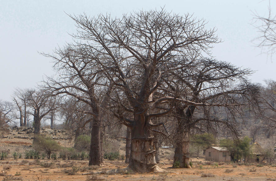 "Slide 1 of 25: In this photo taken Wednesday, Sept. 20, 2017, baobab trees grow alongside one another in a field in Chimanimani, Zimbabwe. Africa's ancient baobab, with it's distinctive swollen trunk and known as the ""tree of life,"" is under a new mysterious threat, with some of the largest and oldest dying abruptly in recent years. (AP Photo/Tsvangirayi Mukwazhi)"