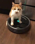 Cat calmly rides a Roomba