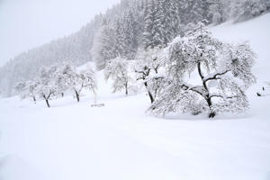 Trees are covered with snow during heavy snowfall near Goestling, Austria