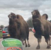 Stampeding camels hoof it between cars in UK