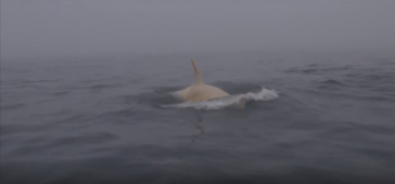 Extremely rare white Orca whale caught on camera