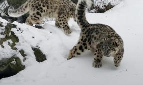 Snow leopard cubs frolic in the snow for the first time