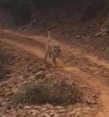 Terrifying moment tiger charges at tourist in India