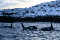 Orcas swim in the waters of the Reisafjorden fjord region, near the Norwegian northern city of Tromso in the Arctic Circle, on January 13, 2019. (Photo by Olivier MORIN / AFP)        (Photo credit should read OLIVIER MORIN/AFP/Getty Images)