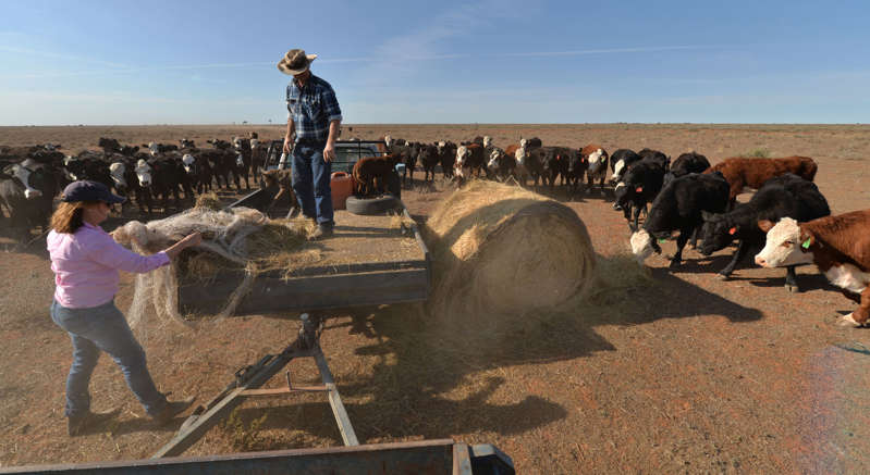 Farmers Matt and Sandra Ireson feed their cattle due to lack of vegetation caused by a severe and prolonged drought