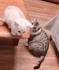 Cat helps other cat friend jump from desk to sofa