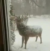 Cute deer visits Maryland home in the snow
