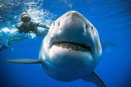 Biggest great white shark 'ever seen on camera'